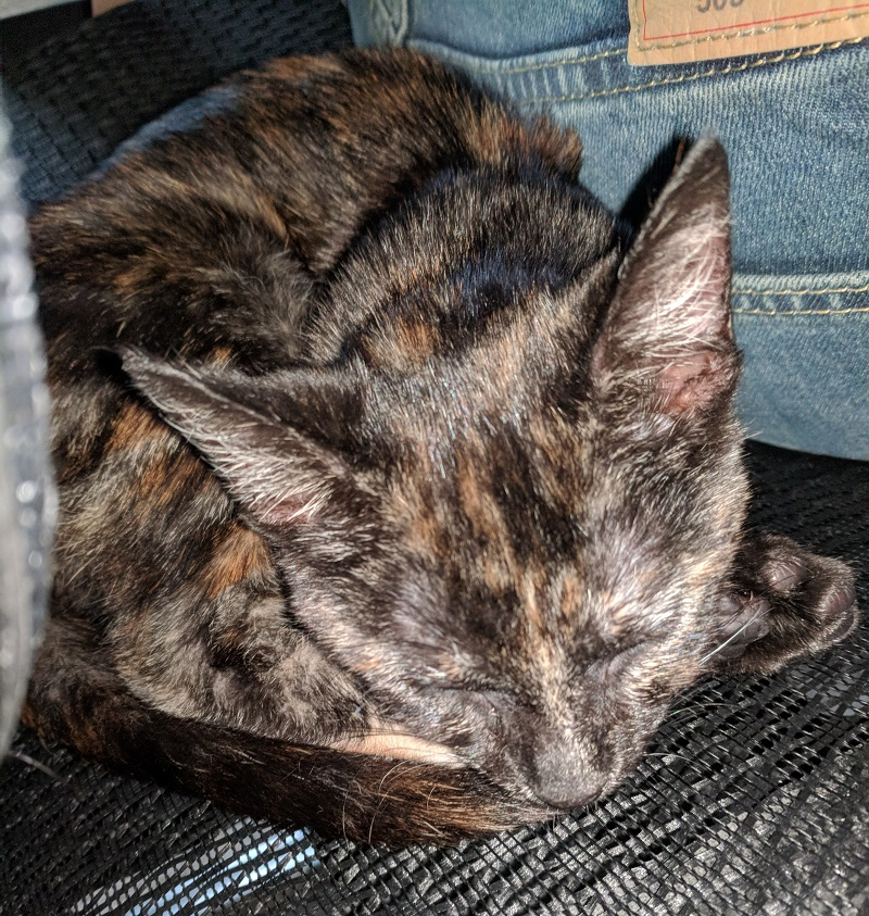 Hecate the tortoiseshell asleep, facing the camera, and curled up behind me in my chair.